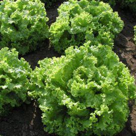 Персей семена салата тип Батавия (Гавриш) НЕТ СЕМЯН