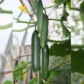 Пикас F1 семена огурца партенокарп. среднего 53-58 дн. 19-21см (Гавриш) НЕТ СЕМЯН