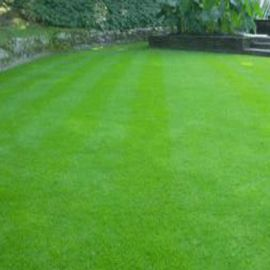 Газонная трава Дюймовочка семена (DLF Trifolium)