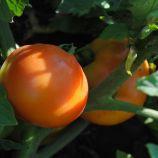 Бехрам F1 семена томата дет. ранний 190-210 гр (Enza Zaden)