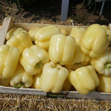 Бланчина F1 семена перца сладкого (Enza Zaden)