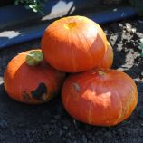Брайт Саммер F1 семена тыквы тип Ред Кури ультраранней 75-80дн. 0,9-1,1кг (Enza Zaden)