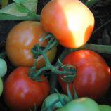 Лоджейн F1 семена томата дет. среднеранний 160-200 гр (Enza Zaden)