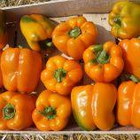 Магно F1 семена перца сладкого (Enza Zaden)