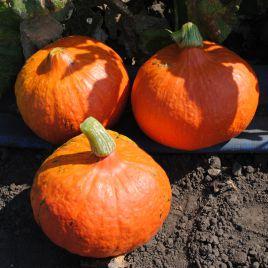 Оранж Саммер F1 семена тыквы тип Uchiki Kuri ранней 75-80дн. 1-1,5 кг (Enza Zaden)