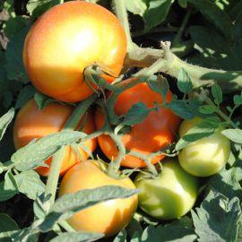 Садин F1 семена томата дет. раннего 65 дн. окр. 180-220г (Enza Zaden)