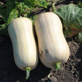 Тиана F1 Organic семена тыквы среднеранней тип Баттернат 1,2-1,5 кг (Enza Zaden/Vitalis)