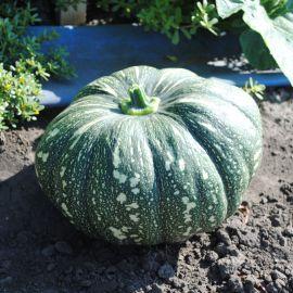 Хоншу F1 семена тыквы тип Кент средней 110-115дн. 4-5кг (Enza Zaden)