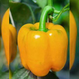 Шорок-шари семена перца сладкого раннего (Hortus)