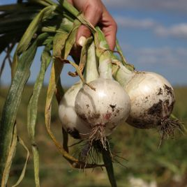 Азила F1 (1001 F1) семена лука репчатого среднего 110дн. 150-250гр. белого (Esasem)