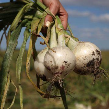 Азила F1 (1001 F1) семена лука репчатого среднего 110-115 дн. 150-250 гр. белого (Esasem)
