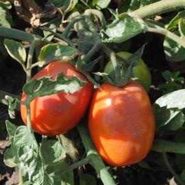 Инкриз F1 семена томата дет. среднераннего 85-90 дн. слив. 75 гр. (Esasem)