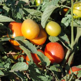 Квикфаер F1 семена томата дет. раннего окр. 65-80 гр. (Esasem)