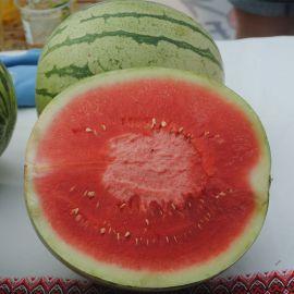 Регус F1 семена арбуза бессемянного раннего 6-7 кг (Sakata)