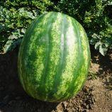 Миракл F1 семена арбуза тип Кримсон Свит раннего 60-62 дней 8-10 кг (Hazera)