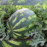 Маракеш F1 (Marrakech F1) семена арбуза тип Кримсон Свит среднего 80-85дн 10-12кг овал (Ergon seeds)