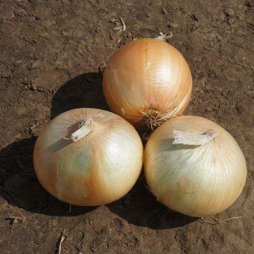 Рефлекс F1 (Reflex F1) семена лука озимого (Seminis)