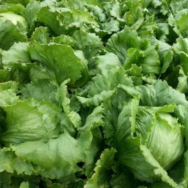 Этти семена салата тип Айсберг средней 77-87 дн. зел. (Moravoseed)