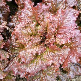 Росела семена салата тип Батавия 50-55 дн. красн. (Moravoseed)