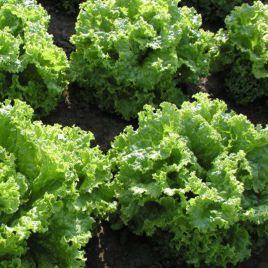 Пражан семена салата тип Батавия зел. (Moravoseed)