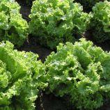 семена салата батавия пражан