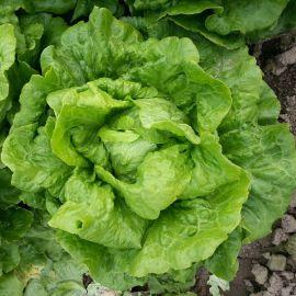 Галандер насіння салату тип Ромен середньораннього 65-75 дн. (Moravoseed)