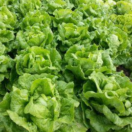 Галандер семена салата тип Ромэн среднераннего 65-75 дн. зел. (Moravoseed)