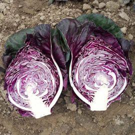 Калибос семена капусты к/к конической среднепоздней 105-120 дн 2-2,5 кг фиол. (Moravoseed)