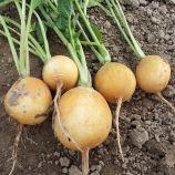 Злата семена редиса среднепозднего 34-38 дн желт. (Moravoseed)