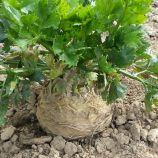 Албин семена сельдерея корневого среднеранний 140 дн (Moravoseed)