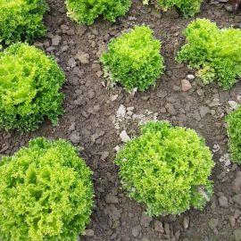 Рекорд семена салата тип Лолло Бионда средний 60-70 дн. зел. (Moravoseed)