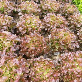 Верала семена салата тип Дуболистный раннего 50-55 дн. красн. (Moravoseed)