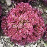 Кримсон семена салата тип Лолло Росса среднераннего 60-70 дн. красн. (Moravoseed)
