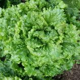 семена салата листового геркулес (кутз)