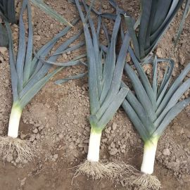 Титус семена лука порей позднего 155-165дн. синевато-зеленого (Moravoseed)
