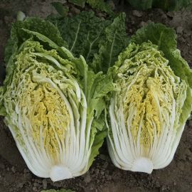 Капитол F1 семена капусты пекинской ранней 58-65 дн 1,5-2 кг (Moravoseed)