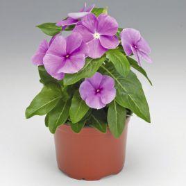 СанШторм F1 пурпурный семена катарантуса (Syngenta)