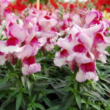 Снеппи F1 орхид флейм семена антирринума карликового однол. (Hem Genetics)