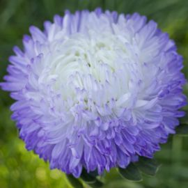 Балун серебряно-голубая семена астры на срез однол. (Satimex СДБ)