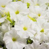 Аладдин F1 белый семена петунии грандифлора (Benary)