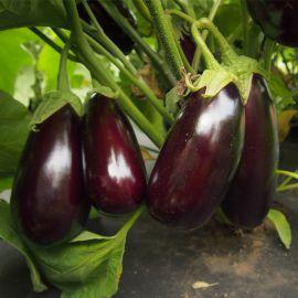Неро семена баклажана среднего 119-125 дн. 100-180 гр. удл.-цил. (Moravoseed)
