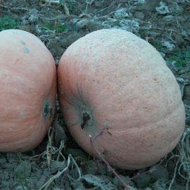 Велтруска Обровска семена тыквы средней крупноплодной 20кг (Moravoseed)