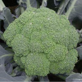 Самоа F1 (Samoa F1) семена капусты брокколи ранней 55-60 дн. 500-700 гр. (Cora Seeds)