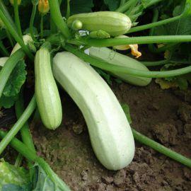 Квета семена кабачка раннего 70дн. 1,5 кг бело-зеленого (Moravoseed)