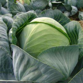 Арос F1 семена капусты б/к поздней 135-145 дн. 2,4-3 кг (Moravoseed)