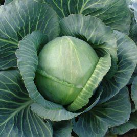 Голт семена капусты б/к поздней 145-150 дн. 2-3 кг окр. (Moravoseed)