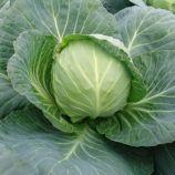 Калибро F1 семена капусты б/к средней 85-90 дн 2-3 кг окр-прип. (Moravoseed)