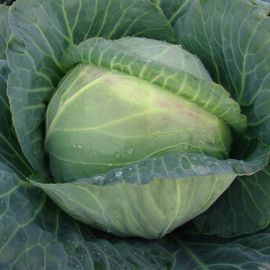 Мидор F1 семена капусты б/к среднепоздней 90-105 дн. 4-5 кг окр. (Moravoseed)