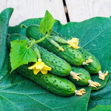 семена огурца спино f1