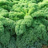 Кадет F1 семена капусты листовой (Moravoseed)